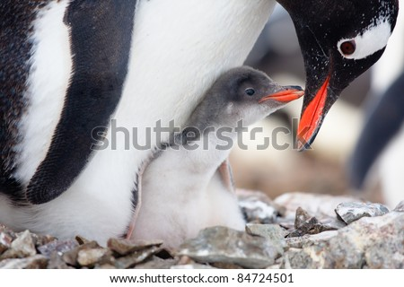 penguin in its nest to protect her cub. Antarctica - stock photo