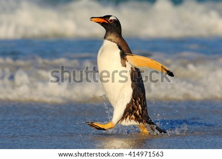 Penguin in the blue waves. Gentoo penguin, water bird jumps out of the blue water while swimming through the ocean in Falkland Island. Penguin in the sea. Action water scene with penguin. Antarctica. - stock photo