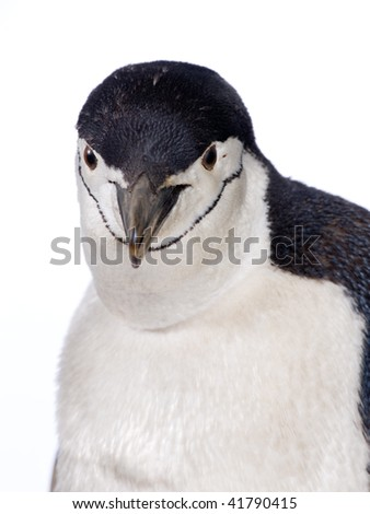 penguin isolated on white background - stock photo