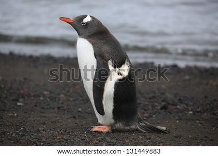 Penguin on a beach in Antarctica - stock photo