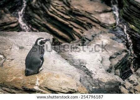 penguin on rock - stock photo