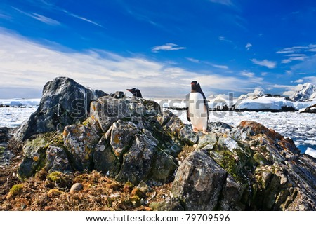 penguin protects its nest while standing on a rock - stock photo