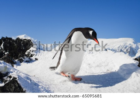 penguin running on the rocks covered with snow - stock photo