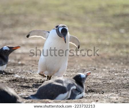 Penguin runs on the coast - stock photo