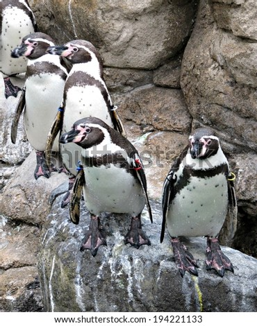 Penguins at the zoo - stock photo