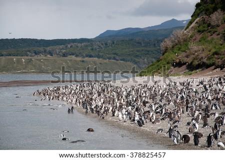 Penguins colony on Isla Martillo, Beagle channel, Ushuaia. - stock photo