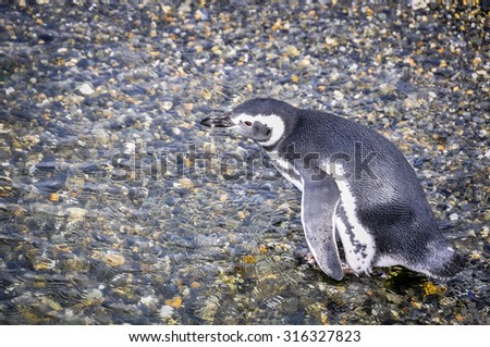 Penguins in the Beagle Channel, Ushuaia, Argentina - stock photo
