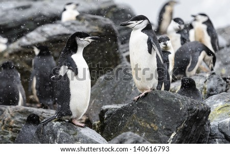 Penguins over the stones - stock photo