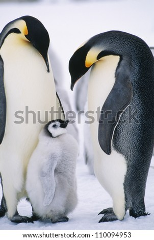 Penguins with chick standing on snow - stock photo