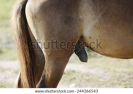 Penis of brown horse - stock photo