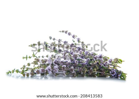 Penniroyal or mentha pulegium herbs isolated on a white background - stock photo