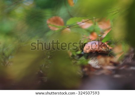 Penny bun fungus (Boletus edulis) growing in the forest. - stock photo