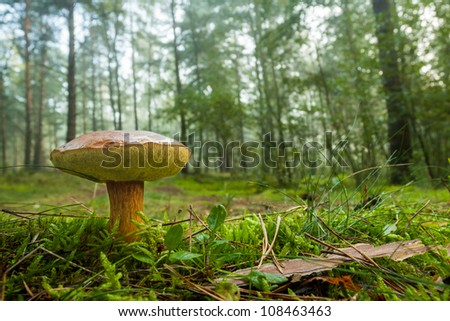 Penny bun mushroom in mossy forest - stock photo