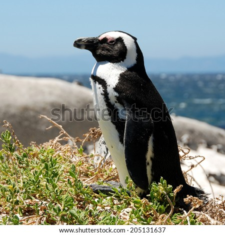 penquin on South Africa coast - stock photo