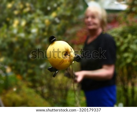 pensioner woman pluck apples with special stick - stock photo