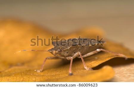 Pentatoma rufipes - stock photo