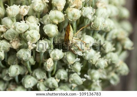 Pentatoma rufipes - color on a leaf beetle - stock photo
