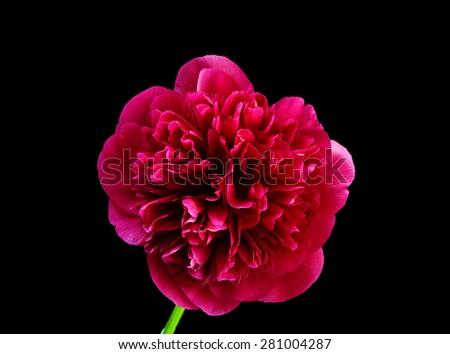Peony flower scarlet - stock photo
