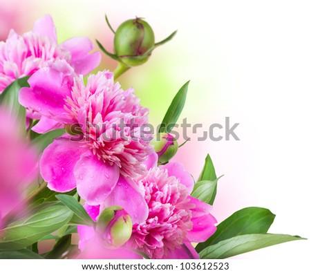 Peony Flowers Bouquet - stock photo