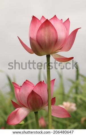Peony Lotus,closeup of pink Peony Lotus flowers - stock photo