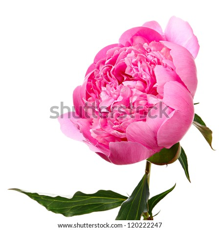 Peony. Pink flower isolated on white - stock photo