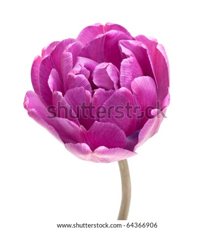 Peony Tulip isolated on white (new photos of tulips see in my portfolio) - stock photo
