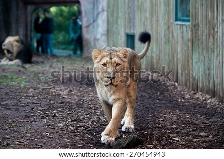 people and children at the zoo with a lion coming  - stock photo