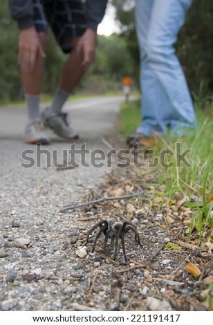 People looking at a wild tarantula seen on roadside in California - stock photo