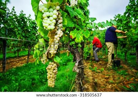 People working on vendange, vine harvest. Alsace, France. - stock photo
