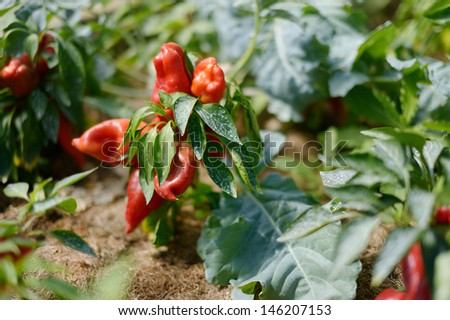 Pepper plant sprayed with protective mixture against infections - stock photo