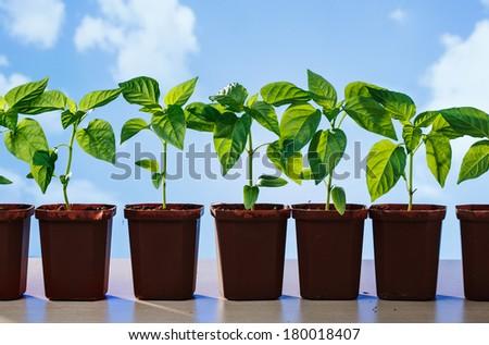 Pepper seedlings in pots - stock photo