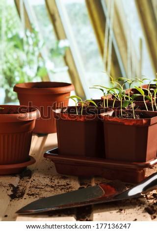 Pepper seedlings in pots still life - stock photo