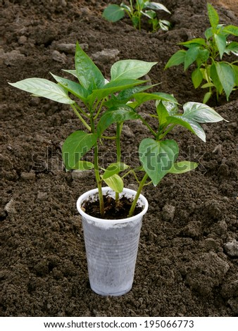 pepper seedlings ready for transplanting to bed - stock photo