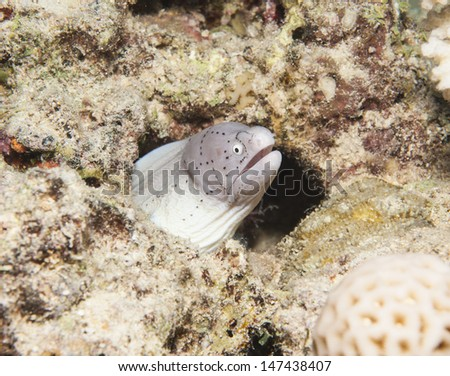 Peppered moray gymnothorax griseus hiding in hole underwater on a tropical coral reef - stock photo