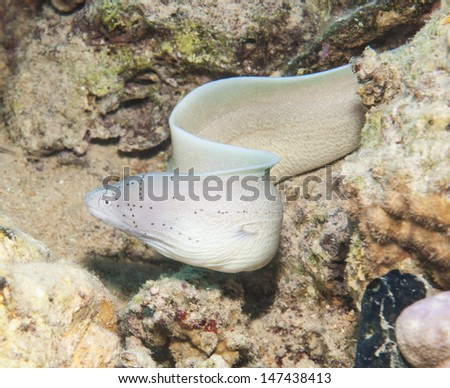 Peppered moray gymnothorax griseus swimming underwater on a tropical coral reef - stock photo