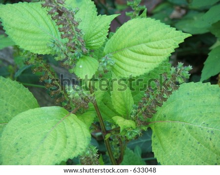 peppermint plant - stock photo