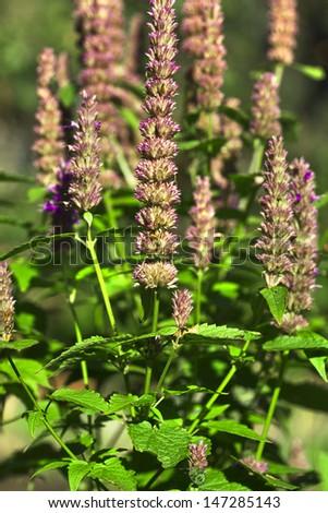 peppermint plant flower ih garden - stock photo