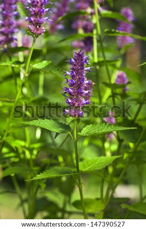 peppermint plant flower in sunlight day - stock photo