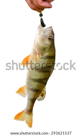 Perch caught on bait isolated on white/Perch and bait/Perch caught on bait   - stock photo