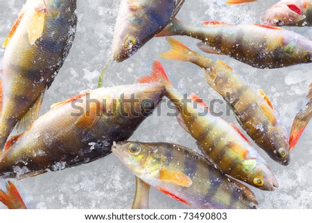 perch fish close-up background - stock photo