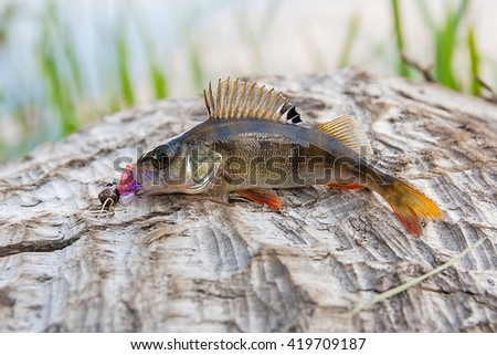 Perch fish just taken from the water on natural background. Perch fish with silicon bait. - stock photo