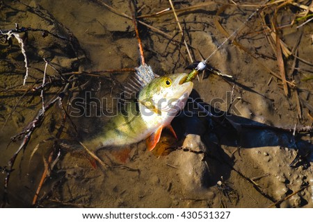 perch in water - stock photo