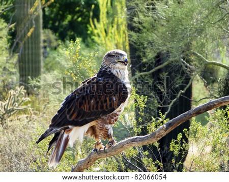 Perched Hawk - stock photo