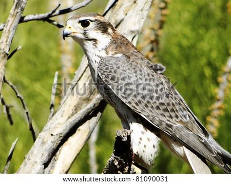 Perched The Prairie Falcon - stock photo