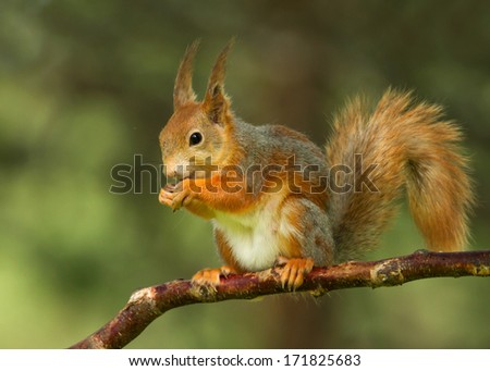 Perching Red squirrel, Finland - stock photo