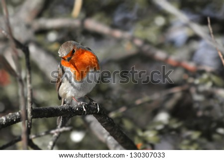 Perching Robin in winter amongst branches - stock photo