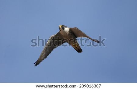 Peregrine, Falco peregrinus,  single bird in flight, Derbyshire, June 2014                     - stock photo