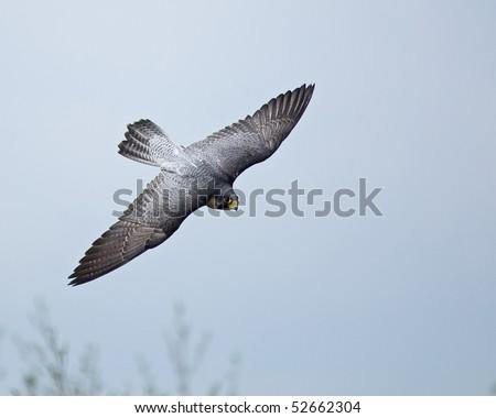 Peregrine Falcon - stock photo