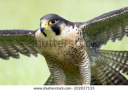 Peregrine Falcon close up portrait against a blurred light green background/Peregrine Falcon/Peregrine Falcon (falco peregrines) - stock photo