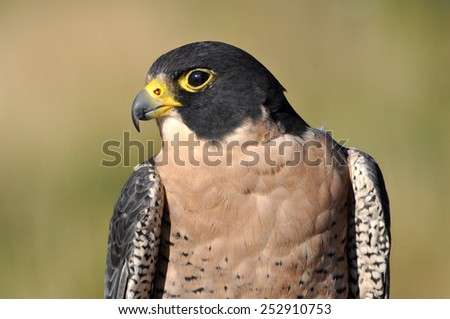 Peregrine Falcon closeup in green meadow of Colorado - stock photo